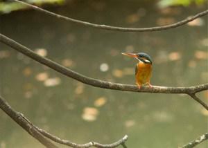 Common_kingfisher