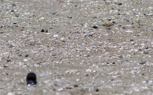 Kentish_plover
