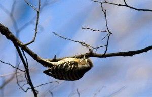 Pygmywoodpeckerredhead