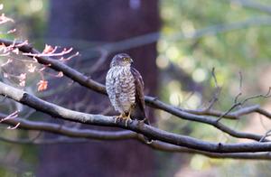Sparrowhawk120106_2