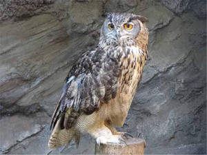 Eagleowl120704
