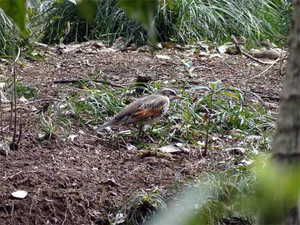 Duskythrush120403