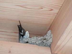 Barnswallow130713