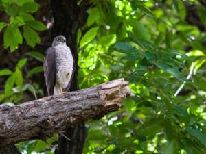 Sparrowhawk130719