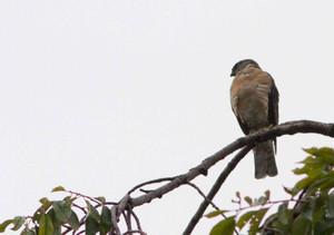 Sparrowhawk130731