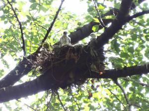 Sparrowhawknesthanegi