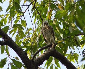 Sparrowhawkck130727