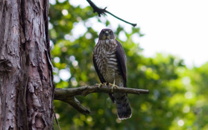 Sparrowhawk1308151
