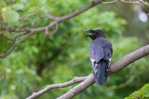 Crow1308261