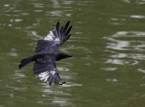 Crow1308262_2