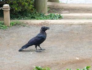 Crow1309072