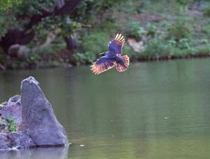 Crow1310031_4