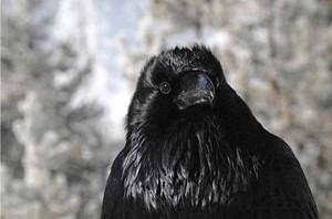 Common_raven1