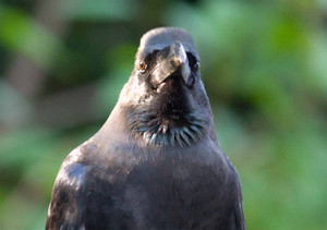 Largebilled_crow2