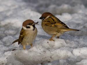Sparrow140209