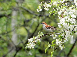 Russet_sparrow140608