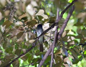 Paradiseflycatcher140922