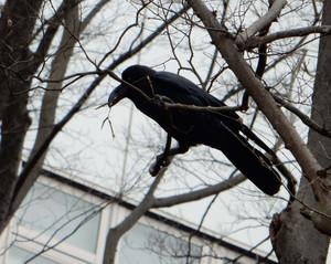 Crow150315