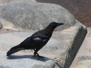 Carrioncrow150806