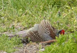 Pheasant160416