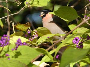 Bullfinch161127