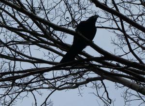 Largebilled_crow170304