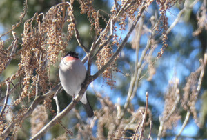 Bullfinch180114