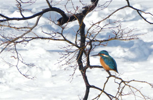 Kingfisher150123