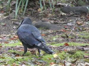 Largebilled_crow181005
