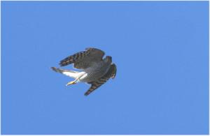 Sparrowhawk190104