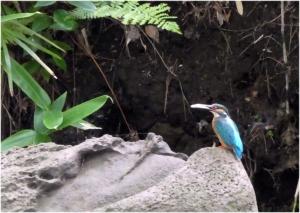 Kingfisher190709