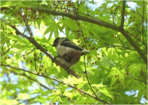Longtailed-tit3