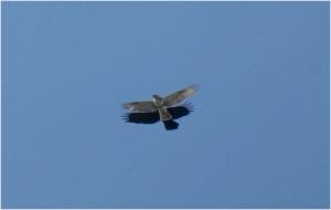Buzzard2001301