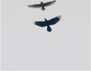 Shorteared-owl201103